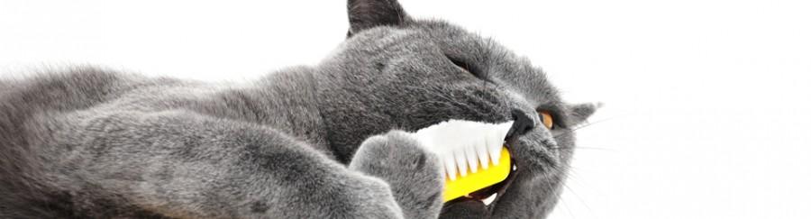 Dental - Grey Cat Right